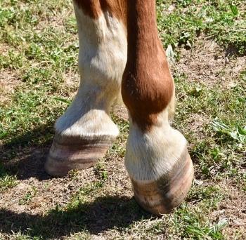 Kreupelheid bij een paard